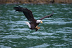 Bald Eagle swooping in for a meal.
