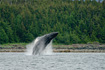A Humpback Whale breaches from the waters of Lynn Canal near Point Retreat Lighthouse.