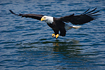 Adult Bald Eagle swooping in for a meal.  Taken with a 400mm telephoto lens on a bright, sunny day.