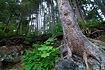 Huge Sitka Spruce (the Alaska State Tree) precariously perched on top of a boulder, with roots extending to the ground below. Taken up close and personal with a wide angle lens to include the surrounding foliage and other trees.