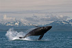 A spectacular Humpback Whale Breach from the waters of Southeast Alaska, looking North towards Lynn Canal and the Chilkat Mountains.  Taken on 7/15/2007.
