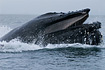 A humpback whale emerges from the depths of Chatam Strait in the waters of Southeast Alaska during a feeding ritual known as Bubble Net Feeding.  Such truly amazing creatures...