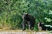 A mother black bear surveys the scene before taking her two cubs (the other one is out of sight) down to a stream to fish.
