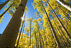 A beautiful stand of Aspen trees near Guanella Pass glows in the afternoon sunshine.